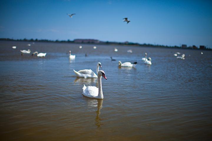 озеро Сасык Сиваш и прекрасные лебеди в нем