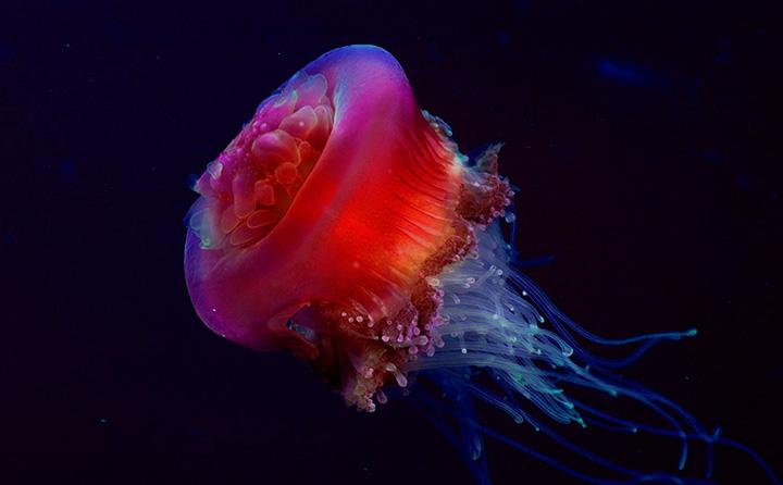 коробчатая медуза в Тайланде