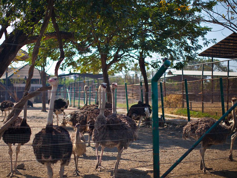 страусы ждут!