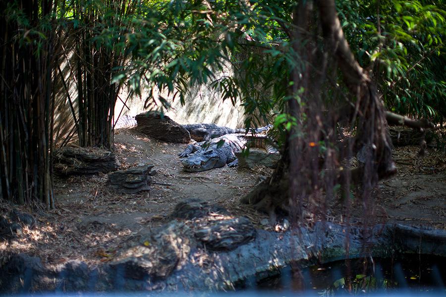 крокодилы ужасно страшные