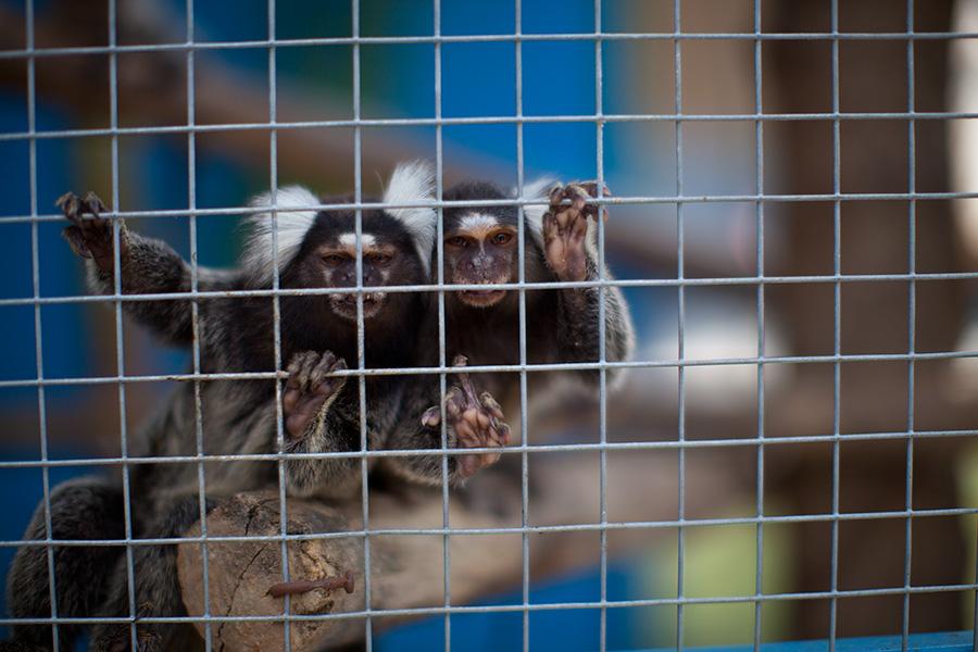 обезьяны мармазетки фото