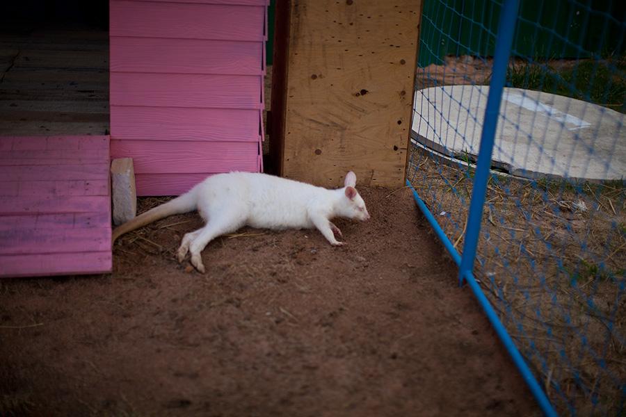белый кенгуру альбинос фото