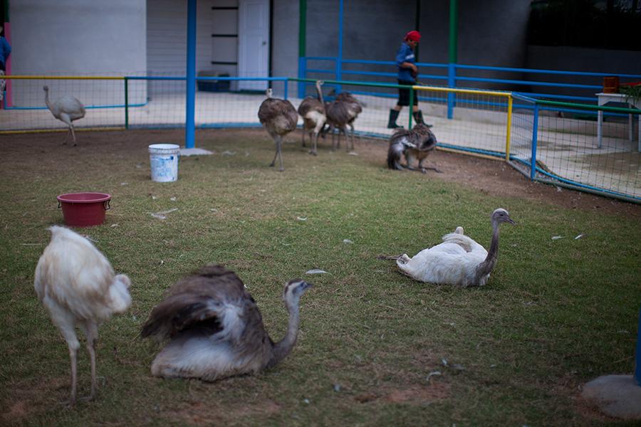 страусы очень шустрые, могут куснуть, осторожно