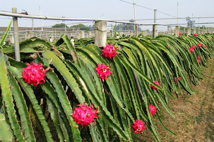так растут дракон фрукты. Потому что они кактусы!