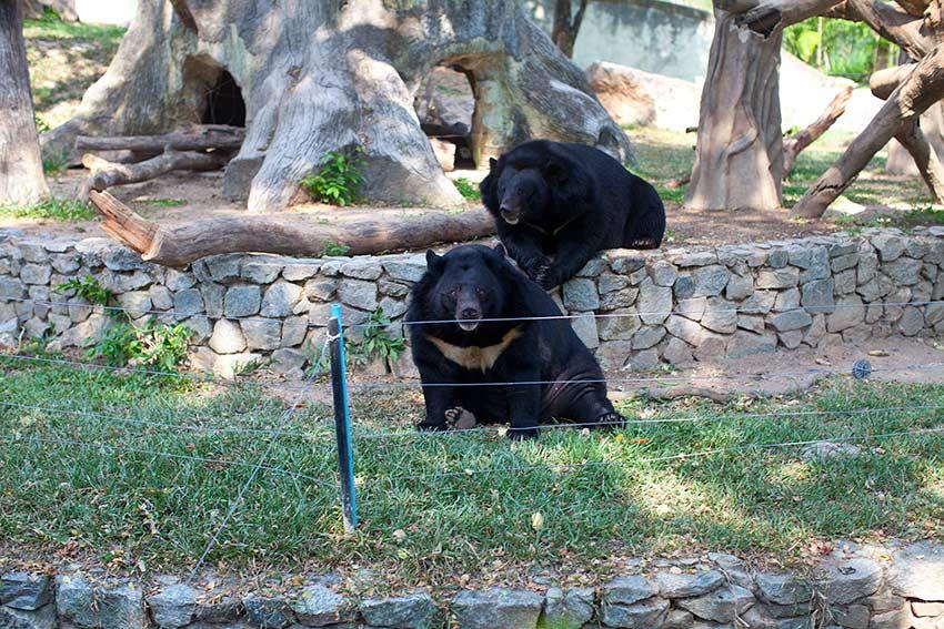 толстенные медведи гризли