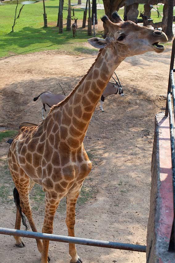 хитрый жираф