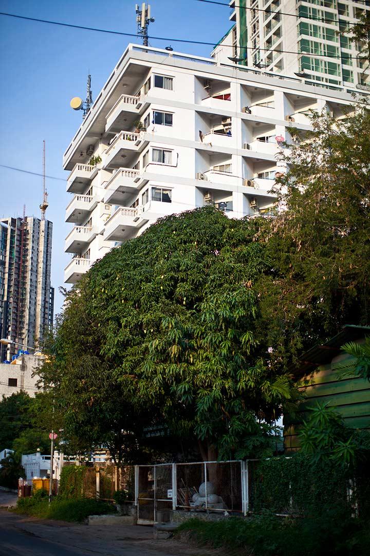 манго прям растут на дереве, на улице! И никто их не рвет!