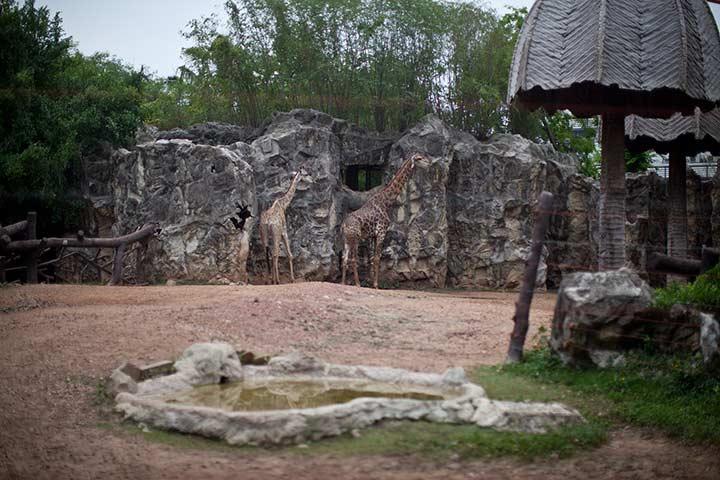 прекрасные жирафы