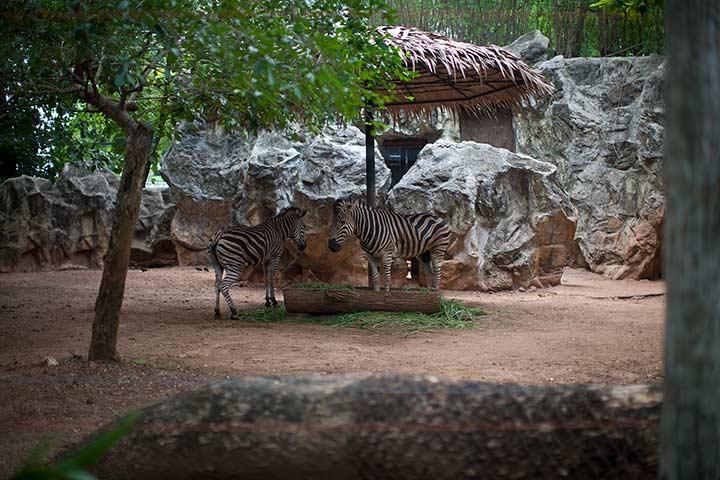 зебры в зоопарке дусит