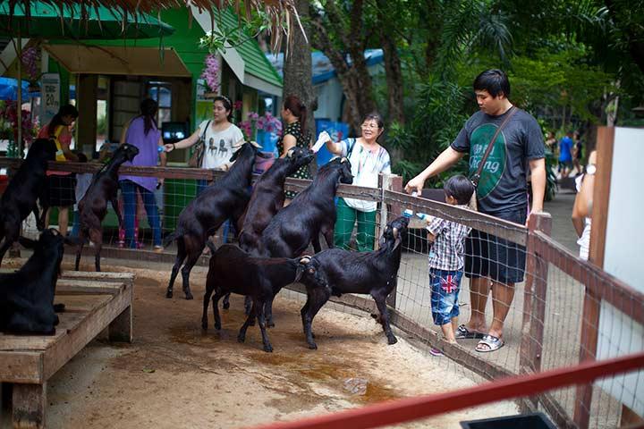 стандартное развлечение во всех зверинцах - кормление овечек