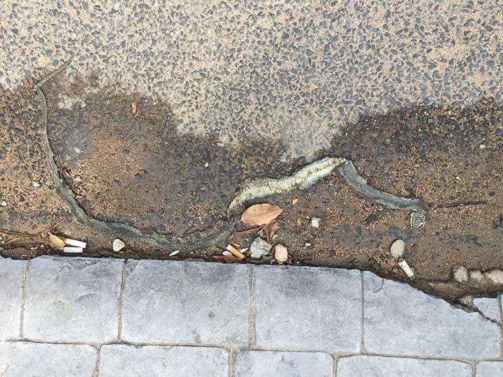 размазанная по асфальту змея рядом с нашим кондо