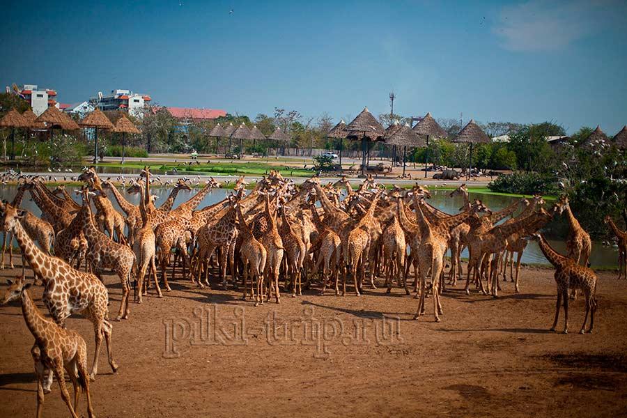 кормление жирафов - это очень интересно и нравится всем!