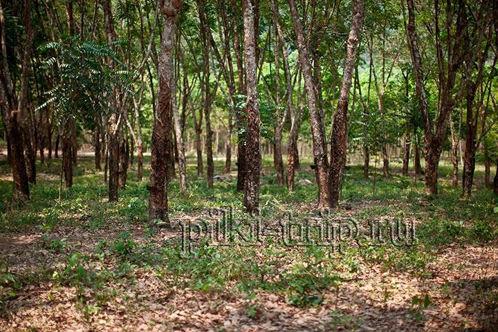 деревья гевеи, с чашечками кокоса для сбора сока