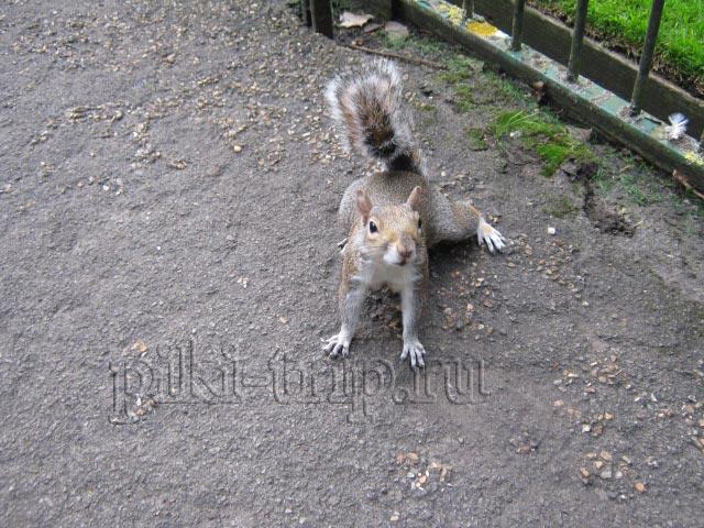 Лондон самостоятельно: Белки в Кенсингтонских садах
