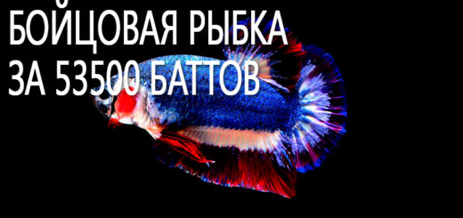 Бойцовая рыбка в цвет флага Таиланда продана за 53500 баттов