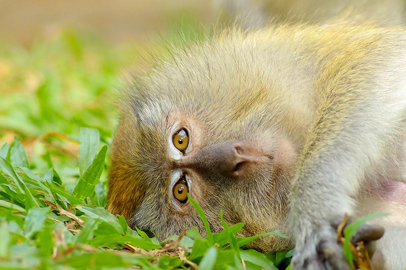 дикие обезьяны опасны