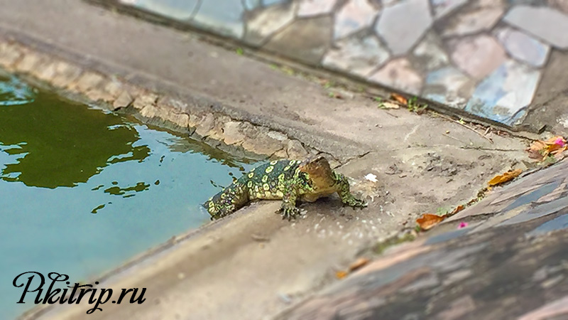 варан который живет в озере у корпуса Гарден Амбассадор