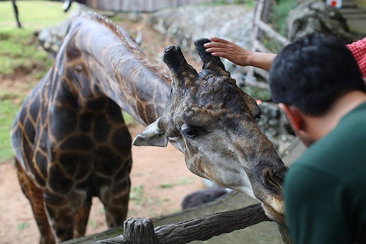 Жирафа можно погладить