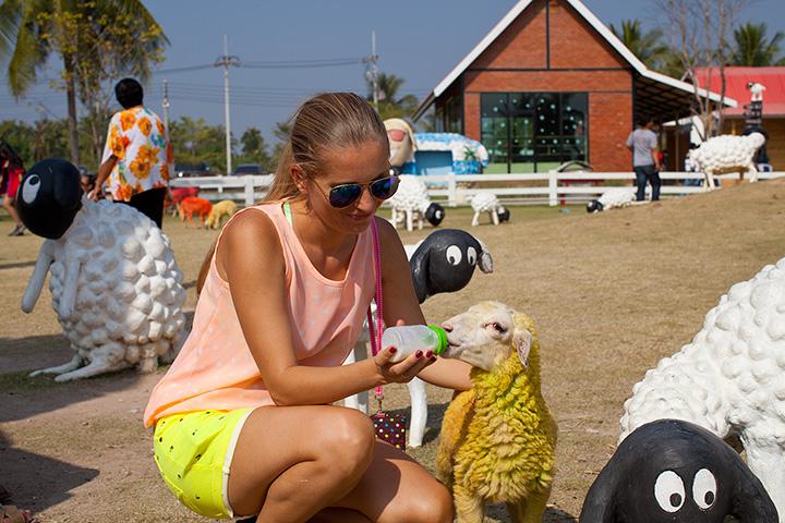 овечья ферма в Паттайе- Pattaya sheep farm