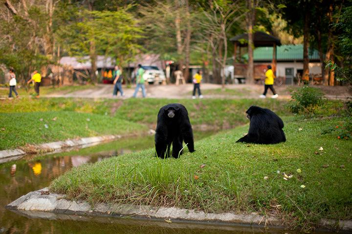 гиббоны в Кхао Кхео фото