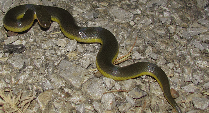 змей в Паттайе не видно совсем