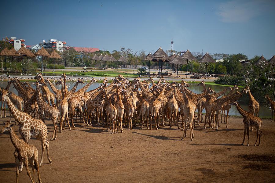 а жирафы меж тем, ждут вас с нетерпением!