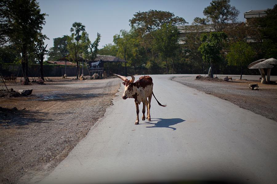 У животных - главнаядорога. Их нужно пропускать везде