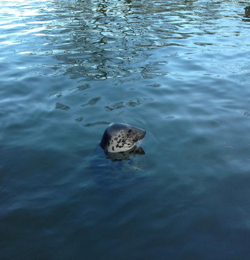 Тюлень позирует