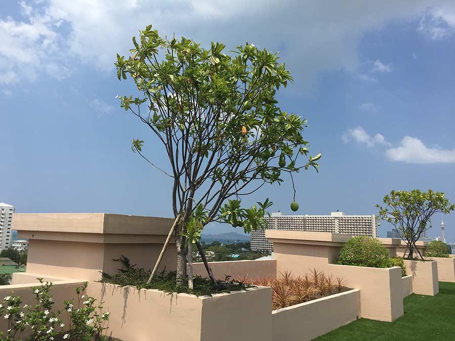 вот вам деревце растущее на крыше, помело насколько я поняла, это Помело