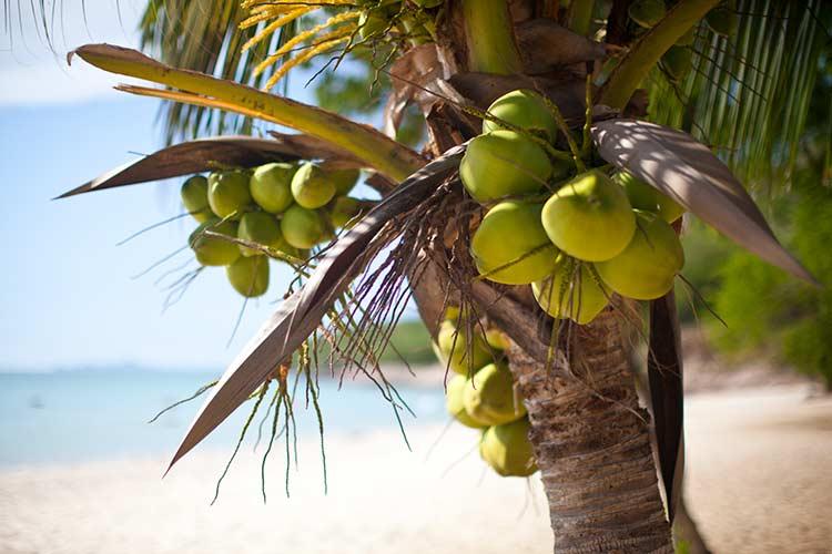 кокосы растущие на военном пляже. Кокос в июне в паттайе стоит 25-30 бат за штуку