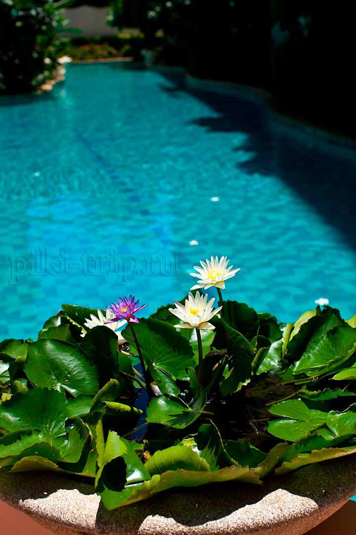 вот вам напоследок прекрасные лотосы у бассейна в Парк Лейн