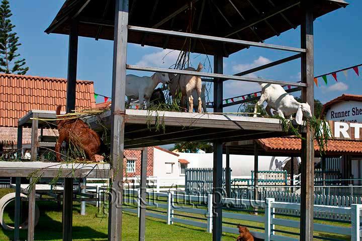 козочки, лошадки, кролики тоже есть на свисс фарм Паттайя