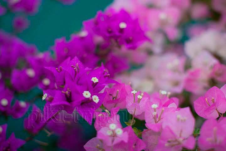 в январе цветут чудесные бугенвиллии в паттайе