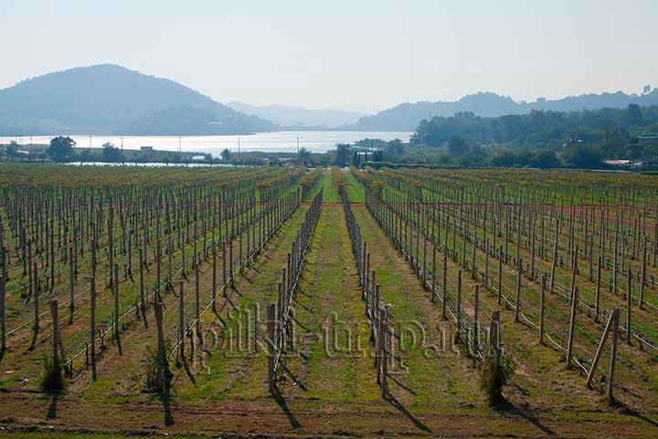 Виноградник Сильвер Лейк ( Silver Lake) - что посмотреть в Паттайе?