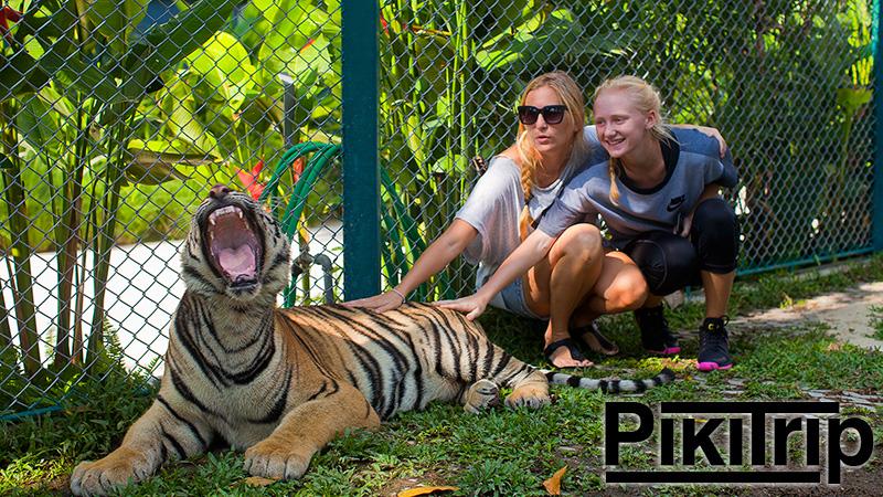 Новый тигровый парк в Паттайе