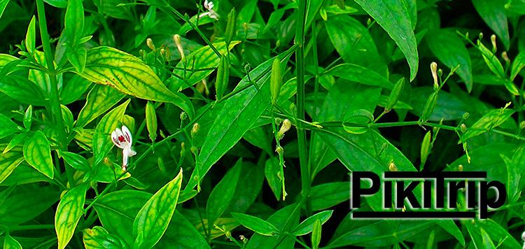 Растение-андрографис---фа-талай-джон