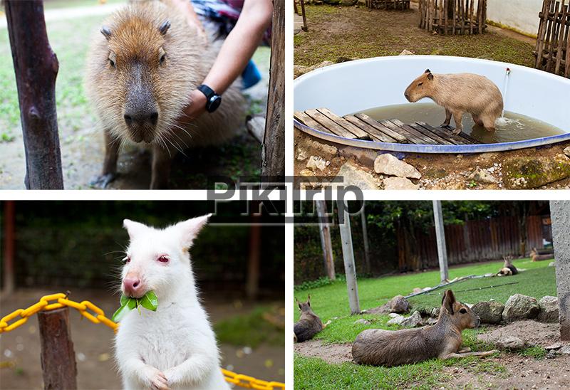 животные на ферме альпака парк
