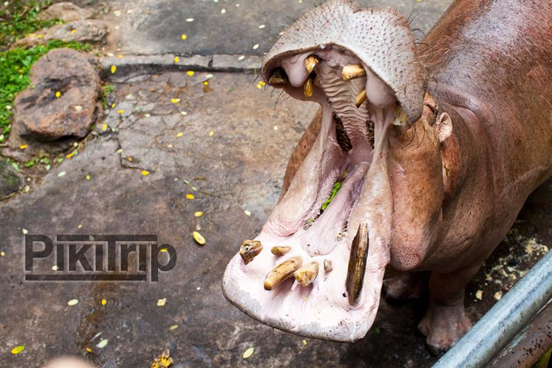 вечноголодные бегемоты