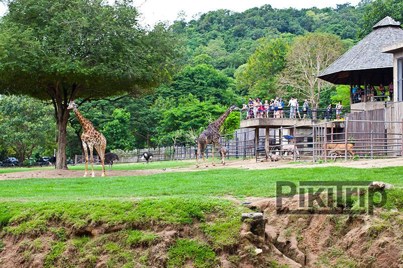 сафари с жирафами