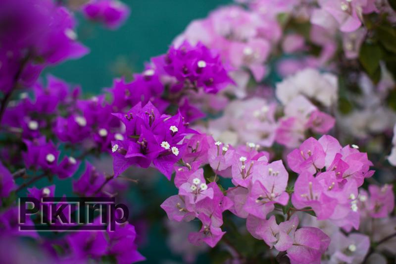 А еще в Паттайе в феврале цветут чудесные бугенвиллии