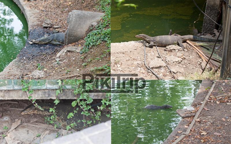 вараны в Люмпини парке в Бангкоке