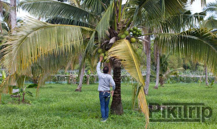 свежие кокосы