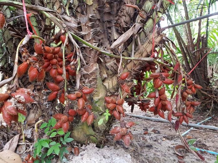 сала или салак - змеиный фрукт